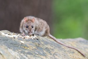 rat treatment manchester